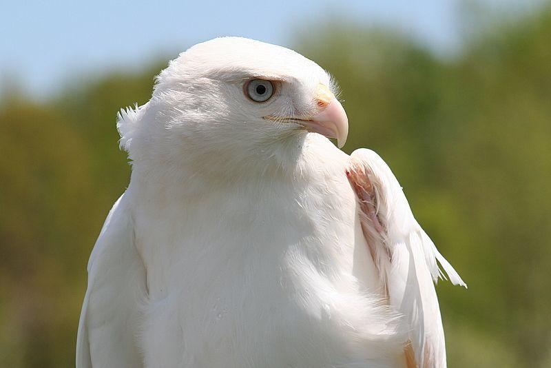 белый орел фото животные красивый такой