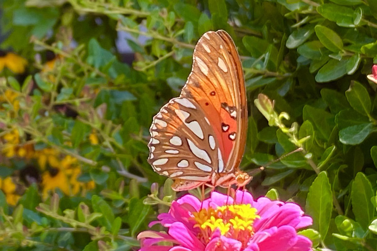 I love the iridescent silver spots on the ventral side of the gulf fritillary #butterfly!