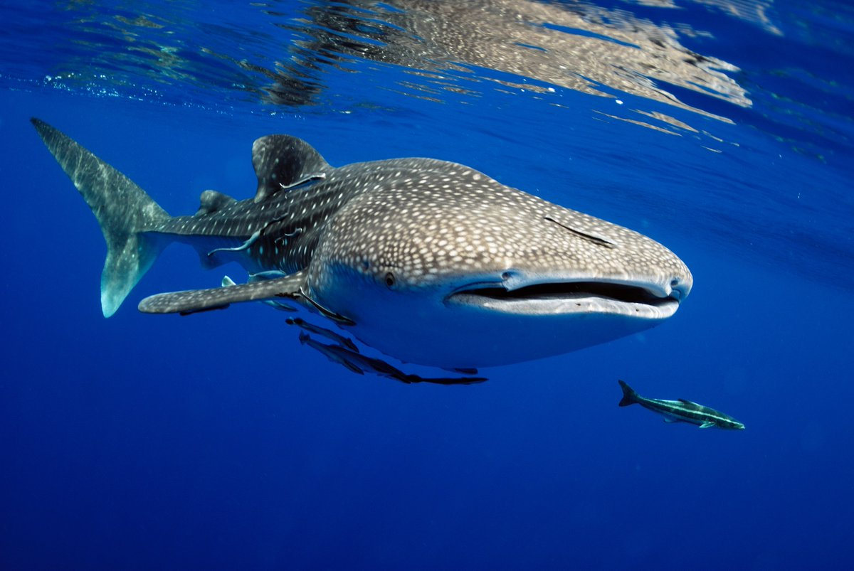 Which one is harmful for the environment, chemical or mineral sunscreen? What do you do if you are boating near reef & spot a whale shark? You're snacking on a boat & spot a grouper fish, do you give him a bite? Go #WildForLife at bit.ly/SeafarerJourney to learn & explore