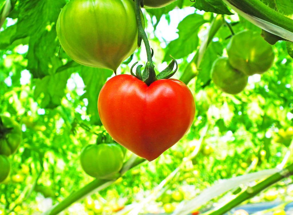 昔遭遇したハート型トマトを見てほしいです。ハートの日。まだこれ以上のものは収穫したことがありません。 https://t.co/Kr1qc1KUn0