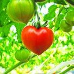 ハートの日(8/10)なのでハートのトマトを見てみて!幸せになれそうなくらい可愛い!