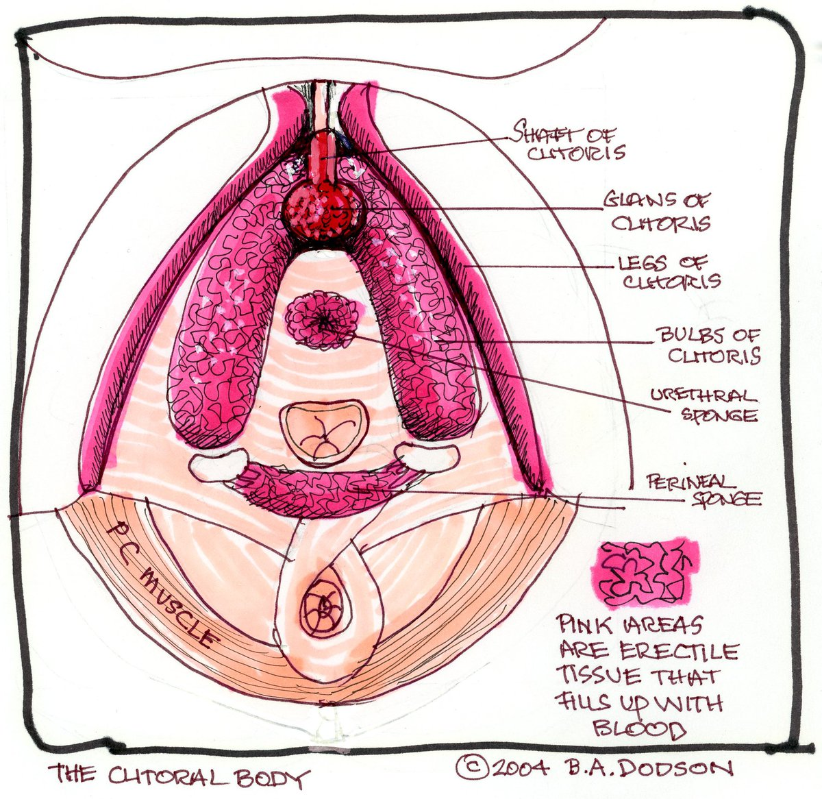 "Were you aware how complex the clitoral system is? Take a look at my 2004 drawing ""The Clitoral Body"" to get a better understanding of what's going on inside your body. #GraySUM2020 pic.twitter.com/Fo8tl9eBsI"