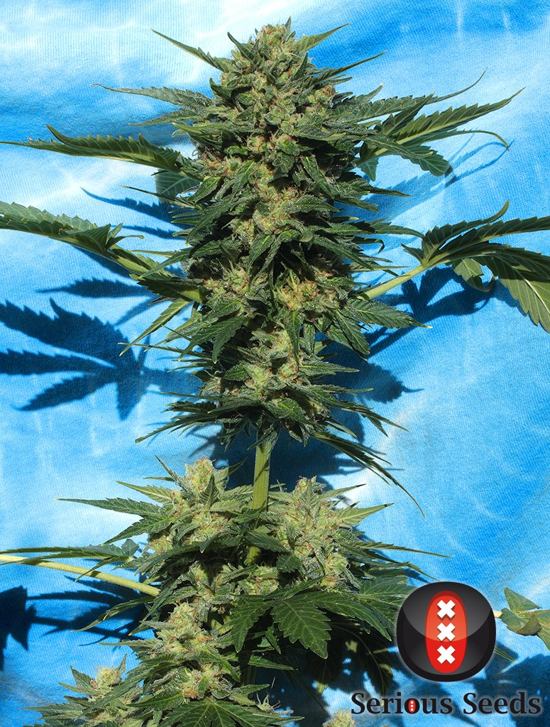 Содержание смол в марихуане марихуана в будапеште