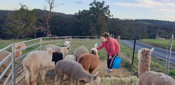 @GoodDeedsKZ How are things there Kathleen. We are in lockdown here in Oz but at least we have the alpacas