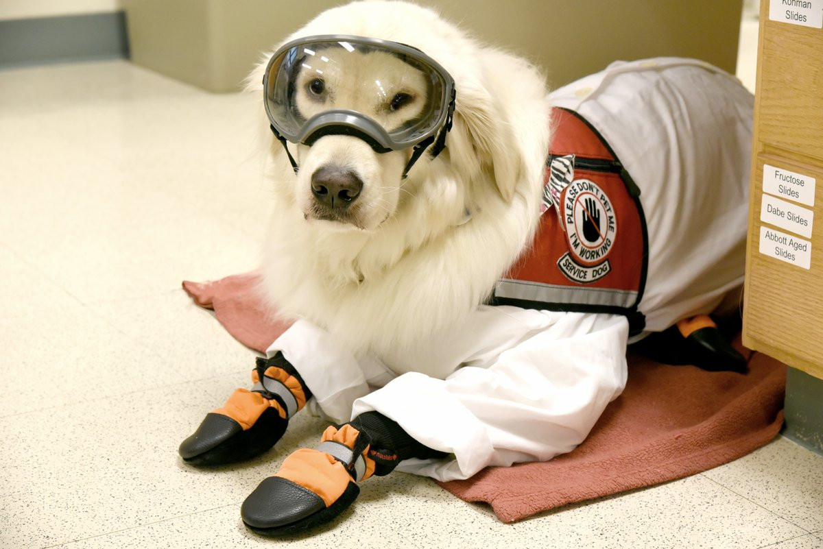 1/2 Service dogs can safely access core course laboratories i.e. Gen Chem I & II, Organic Chem,  & Gen Bio w/ a few reasonable safety precautions. I rest in a recessed bench area w/o chemicals above me. I sometimes wear a lab coat and goggles but always wear boots. #Science #dogspic.twitter.com/hUbsZ35yex