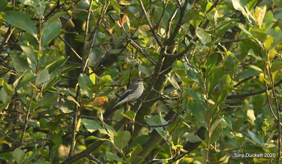 The whiterthroat flew to the group of sallows in the middle of the Chat Enclosure as it dropped down I noticed a #PiedFlycatcher sitting in the middle of one of the trees. I called DJ & he was on sight. He picked up one bird shortly followed by another. #londonbirds #birding https://t.co/RMGovI0YTW