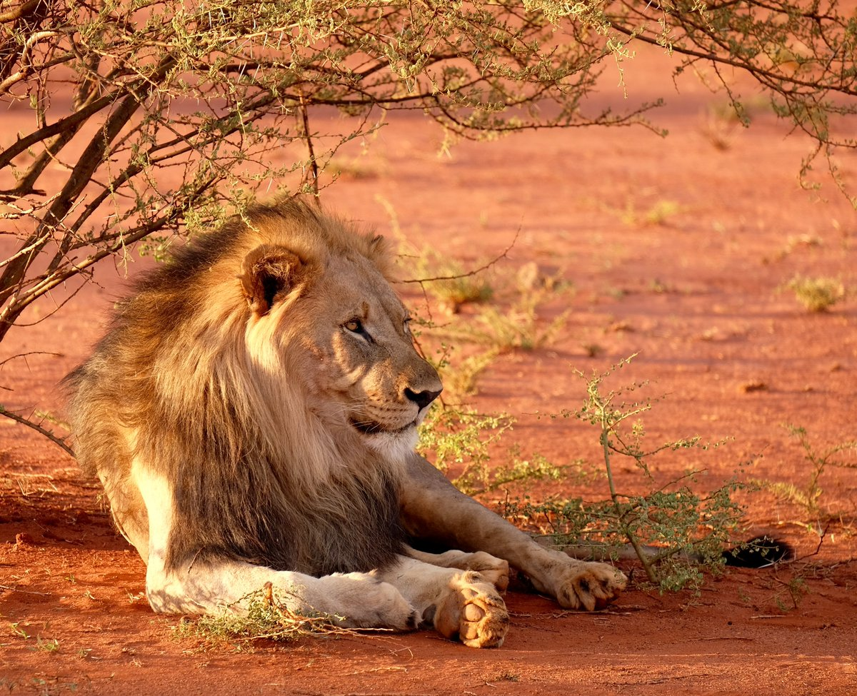 Happy #WorldLionDay Lions 🦁have vanished from 90% of their historic range. Habitat loss, poaching & illegal trade + conflict with local communities who compete over grazing land for livestock are the major threats to lions. Learn more: wildfor.life/species/lion #WildForLife