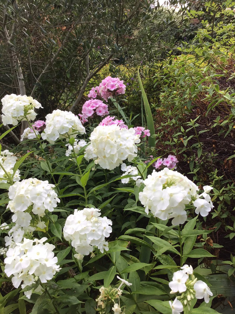 .@GardensHour White phlox with a pink one peeking out in the background. I always Chelsea chop my phlox, do you? Glad I did as I haven't had to stake, but if they'll withstand a #thunderstorm remains to be seen.. #gardens #gardenshour #GardensHour #gardeningtips pic.twitter.com/76fioIrIVu