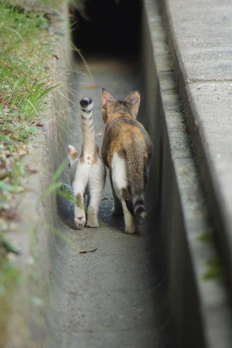 貓媽媽和貓女兒一起回家的背影 EfFq68TUwAA1AEo