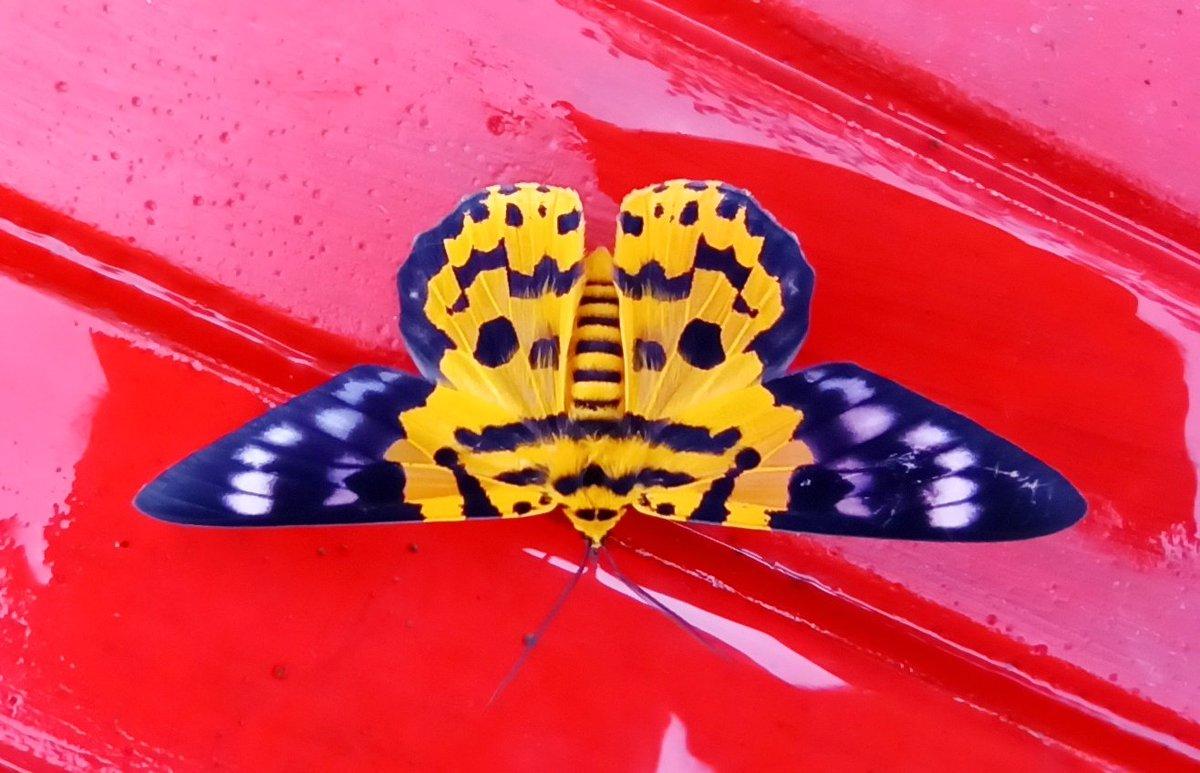 आज का दिन सफ़ल . .  उस हसीं से सुबह सुबह. . मुलाक़ात जो हो गई . . #mybeautiflies  #butterflies   #insects  #butterfly  #photography  #NatGeoWild #YourShotPhotographer #lonelyplanet #wildlifephotography  @savebutterflies @insectsunlockedpic.twitter.com/Rc6vxYCWoK