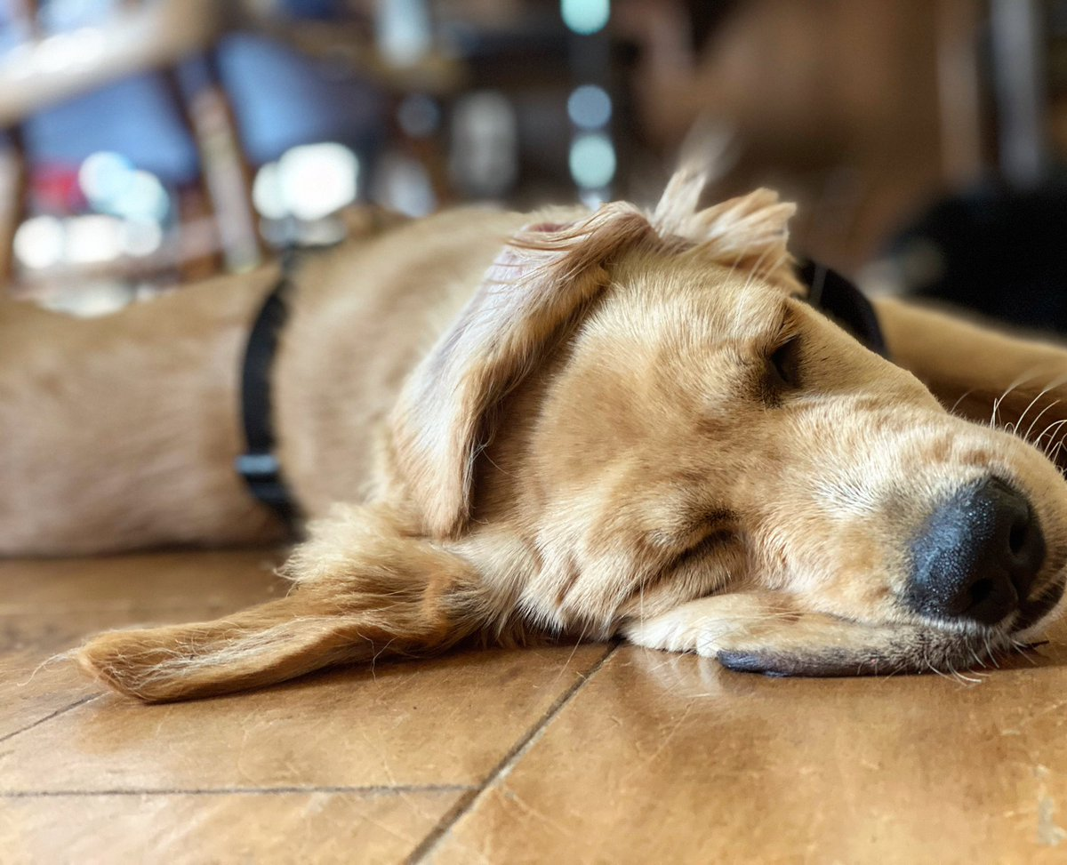 At what temperature does a golden retriever melt?  Beaker is melting here. Unknown, but gold melts at around 1,000°C. Seems like a hot temperature right? Tungsten melts at 3400°C and a Bunsen Berner melts on a warm day. So it's relative.   #science #dogspic.twitter.com/lhDDGzexoC