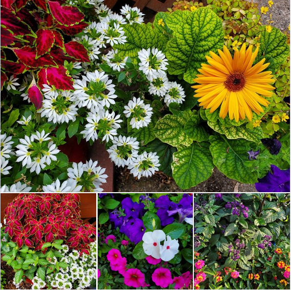 Keep deadheading and watering those annuals. If you haven't done so already, fertilizing them once a week is a good idea. #romencegardencenter #annuals #flowers #planters #gardening #gardeningtips #flowersmakemehappy #gardendecor #landscapedesign #portage #kalamazoopic.twitter.com/g3FVJWob4N