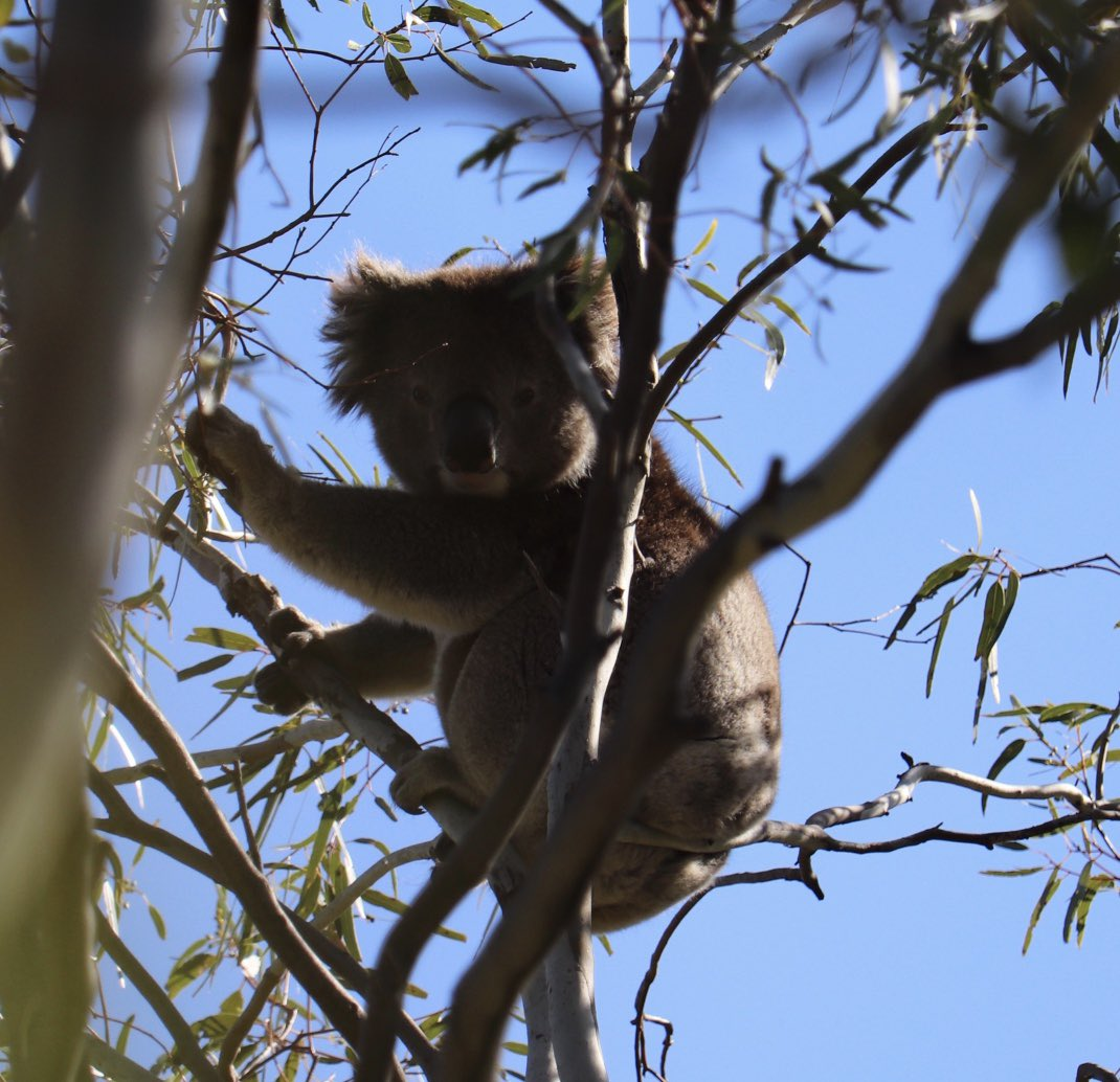 Not many Roos on my walk yesterday but 2 koalas high up in the trees. #koalas #walk pic.twitter.com/on2Z0JhbHB – at Anstey Hill Recreation Park