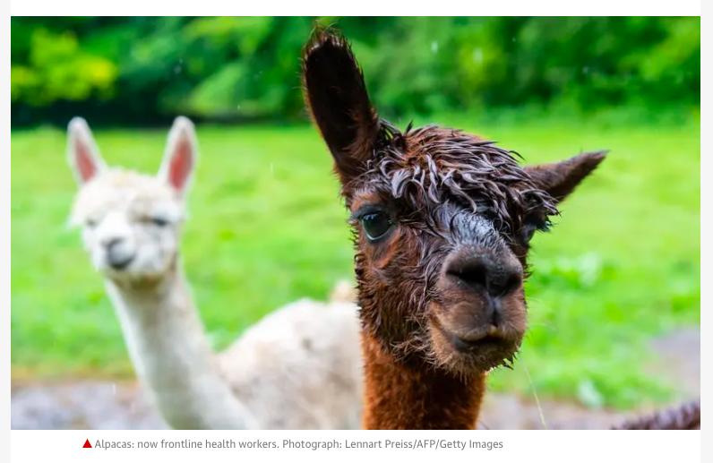 The caption says it all #alpaca