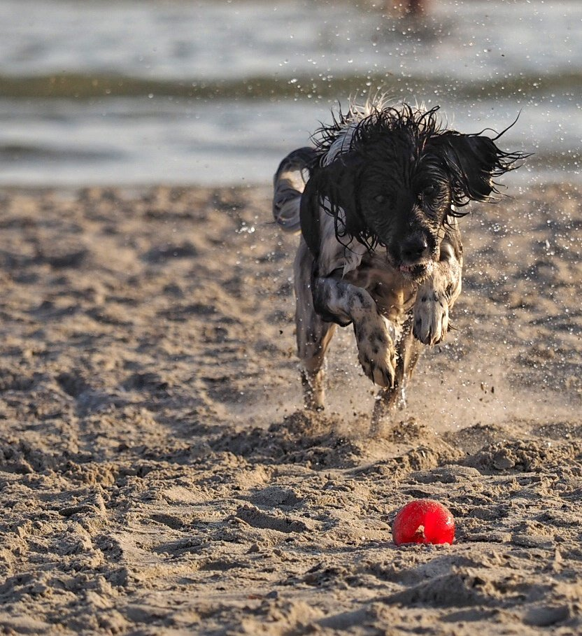 #scotty_therascal at the beach.  #whiskydog #waterdog #friesestabij #heidewachtel #Noordzee #dogphotography #actionshot #500pxrtg #ThePhotoHour #stormhourpic.twitter.com/sQlyEYn4X6