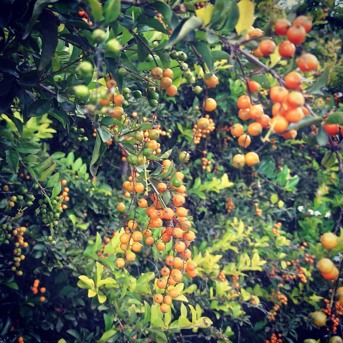 Orange glow #orange #orangeberry #berries #berry #berrypicking #orangeisthenewblack #naturephotograpy #color #colors #beautiful #green #leaves  #photooftheday #photographylovers #photo #travelphotography #astorytotellindia #tuesdaymoodpic.twitter.com/EbqHwgeaMZ
