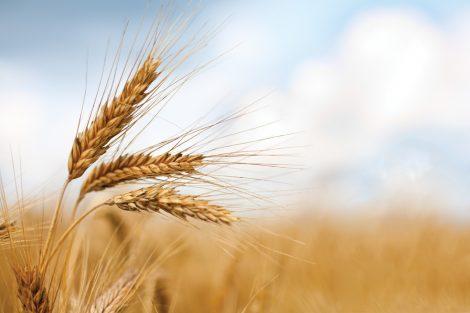 """La 'guerra' al grano canadese, Tomasello """"Prodotto estero penalizza e deprezza produzione siciliana"""" - https://t.co/uLRN2HMnGC #blogsicilianotizie"""
