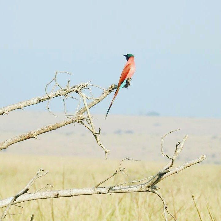 Am living between birds sorounded by trees and sometimes restricted by humans. Call me viapoafrican safaris at your service always. #Exploretheworldincomfort. #Ugandatourism #Thepearlofafrica #Birdinginuganda #birdlovers #birders #Gorillatours #Ugandaphotography https://t.co/TaLRjgKFCh