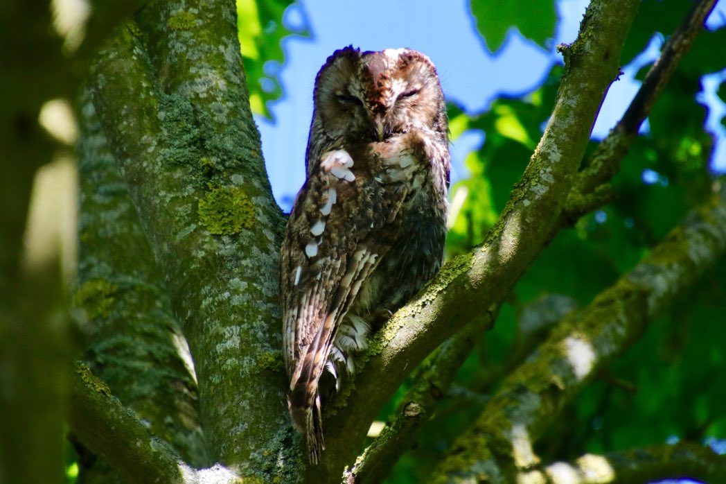 """Your Daily Dose of Owl- this gorgeous Tawny Owl is brought to you by @victorthevole - isn't it just a gorgeous bird!"" ❤️ @RSPBScotland @NatureUK @WWFScotland @Natures_Voice @wildlife_birds @SIBirdClub #nature #photography #birdtonic #nature #TwitterNatureCommunity"