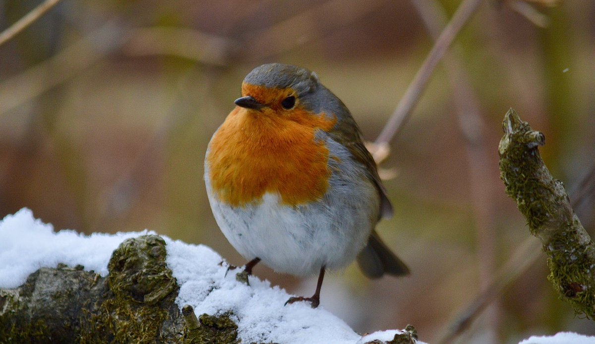"""Your Daily Dose of Robin-today's delight is brought to you by @d7500photos "" ❤️ @RSPBScotland @NatureUK @WWFScotland @Natures_Voice @wildlife_birds @SIBirdClub #nature #photography #birdtonic #nature #TwitterNatureCommunity"