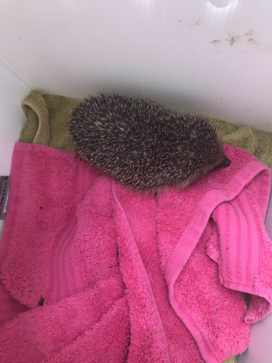 Just 2 of the #hedgehogs collected by Insps Dickinson & Green over the last few days in #Yorkshire. Hedgehogs can really struggle to find food and water during periods of hot weather, see how you can help them here; bit.ly/3ajZ1nX @RSPCA_official 49