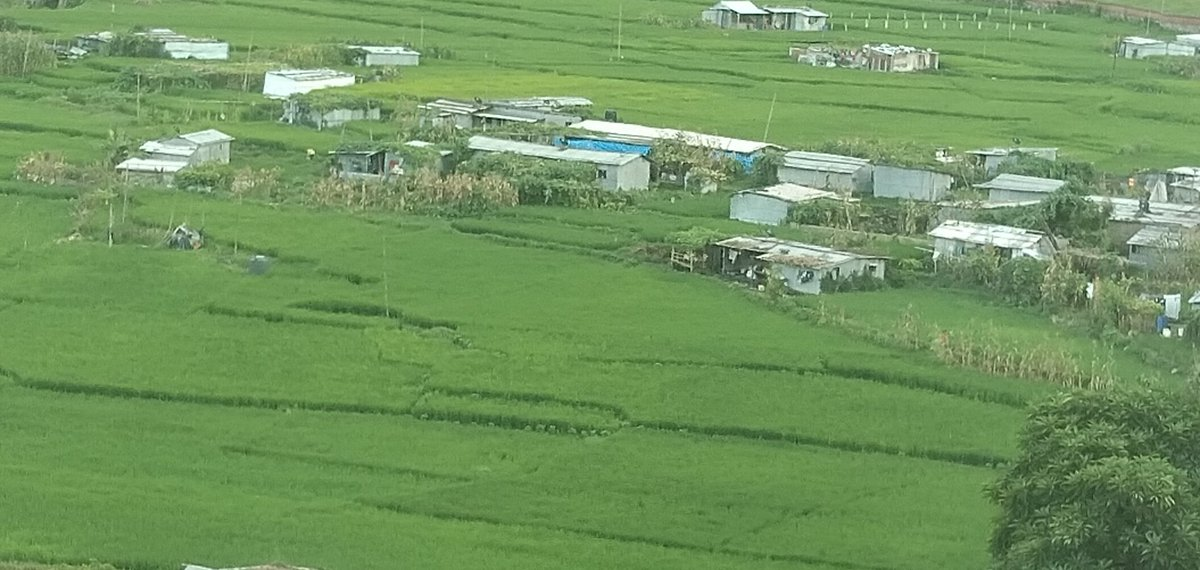 #Paddy is growing and expected to give very good harvest despite the #COVID impact in Nepal. #premonsoon rain has contributed farmers for timely plantation. pic. Paddy grown in #Lalitpur https://t.co/FXiQmhGXPa
