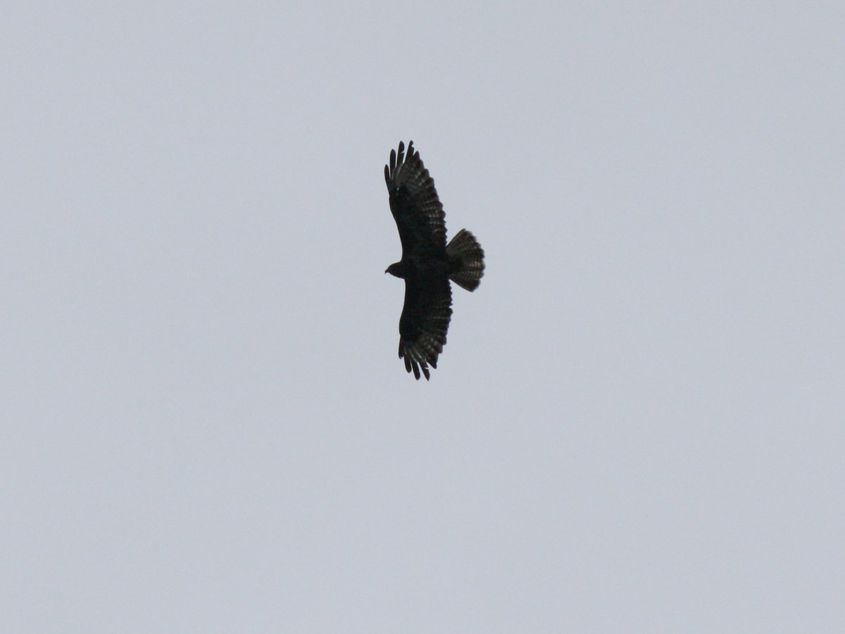 Photos of a buzzard and our 'resident' peregrine falcon who is more often heard than seen, regularly perched on top of our chimney... #biodiversity #PureCork https://t.co/u22sDCZrh9