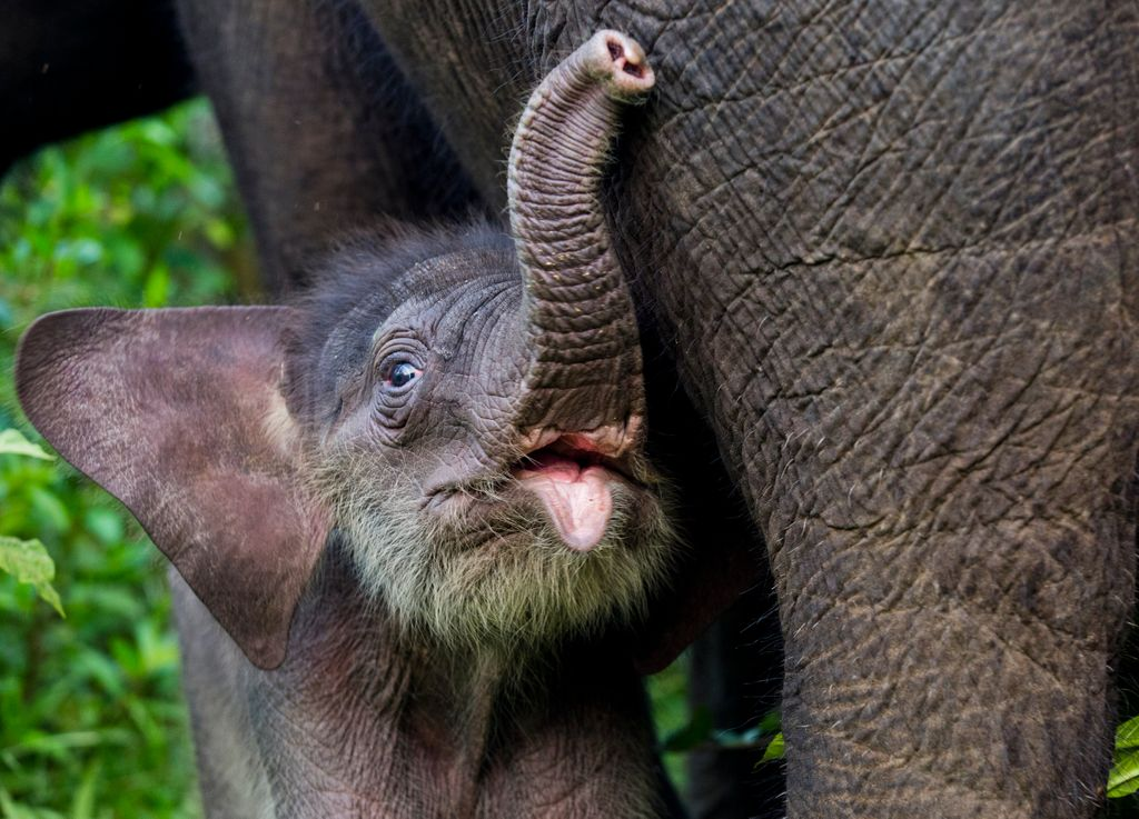 Baby Sumatran elephants can stand just 30 minutes after birth. On #WorldElephantDay2020 we hope to help save these endangered elephants by conserving their habitat, forests in Sumatra like the #LeuserEcosystem. #forests #conservation #LovetheLeuser  Image: @paulhiltonphoto https://t.co/hcmrhUGjuZ