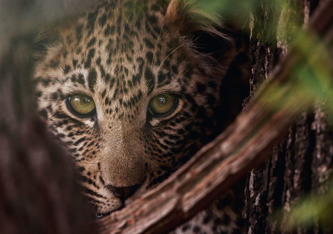 Theres something so enchanting about the gaze of a leopard 🐆 Known as the most elusive member of the Big Five, the sighting of a leopard is one youll remember for a lifetime 🇿🇦 A stunning shot by @maverick_gareth on Instagram 📸