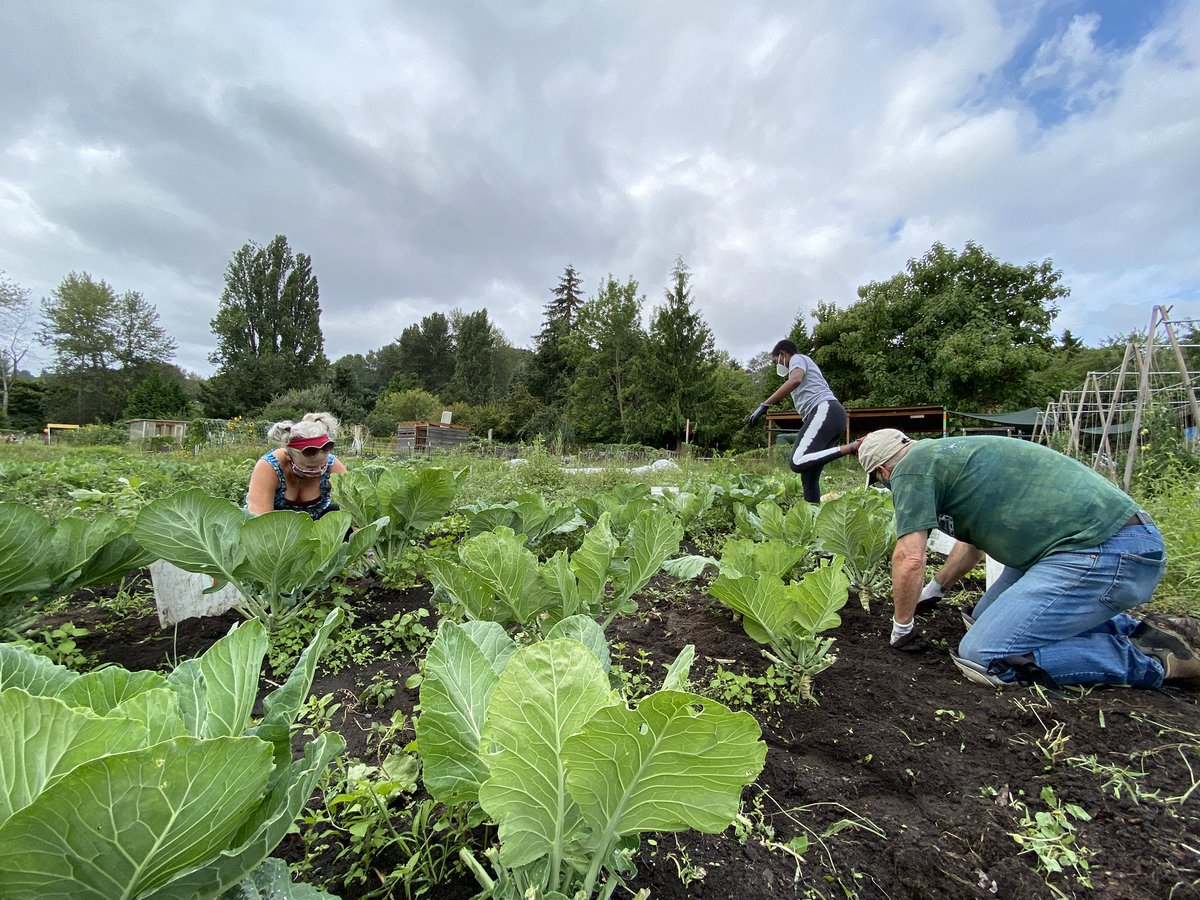 This urban farm Giving Garden donates ALL their veggies to the local food bank & senior center. Did you know it's right in Seattle's South Park neighborhood??  Food insecurity is at unprecedented levels w/ the pandemic - & the farm has a volunteer shortage. Pls help if you can! https://t.co/IT7IIUSBCo