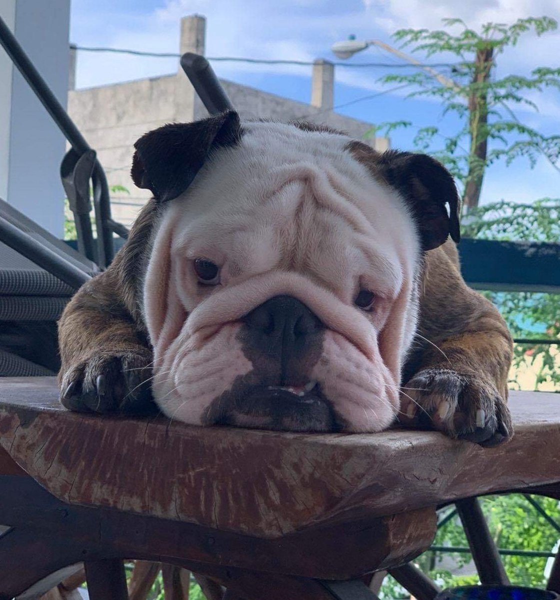 A thread about CARDO Our spoiled English bulldog baby 😍😂😅 Just to brighten up your day if you ever need it 😉