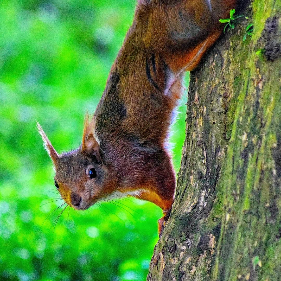 One of the Red Squirrels around the park spotted by our ranger Liam! These native species squirrels can leap from tree to tree and can scamper along branches at high speeds while it's moving around.  https://t.co/7yZ7mGdBpS https://t.co/xPI1kIv0pF