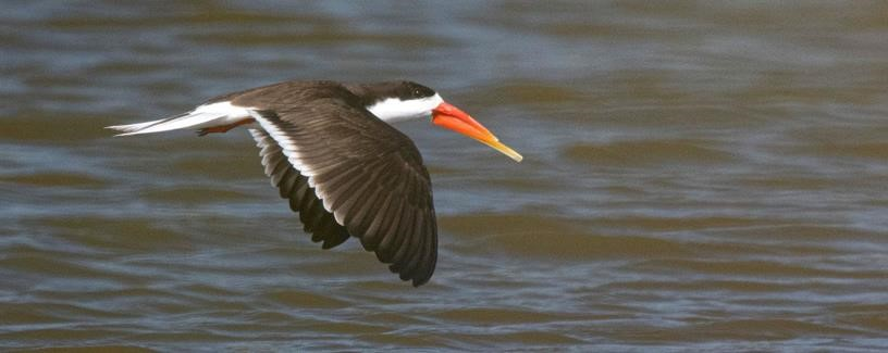 After a month's absence a single African Skimmer is back @ Lower Sabie's Sunset Dam in @SANParksKNP photos by Werner van der Walt, Desiree van Jaarsveld & Johan Bader https://t.co/61E0S2oCwL
