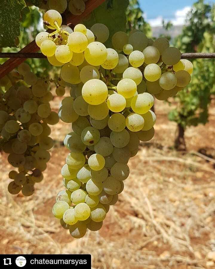 #Repost @chateaumarsyas • • • • • • Château Marsyas  Despite the tragic events that our dear country is going through, nature in the Bekaa takes its course with the approach of the harvest scheduled to start by the end of August. We are thankful … https://t.co/vP2teBnGz7 https://t.co/8Of26Ha1WK
