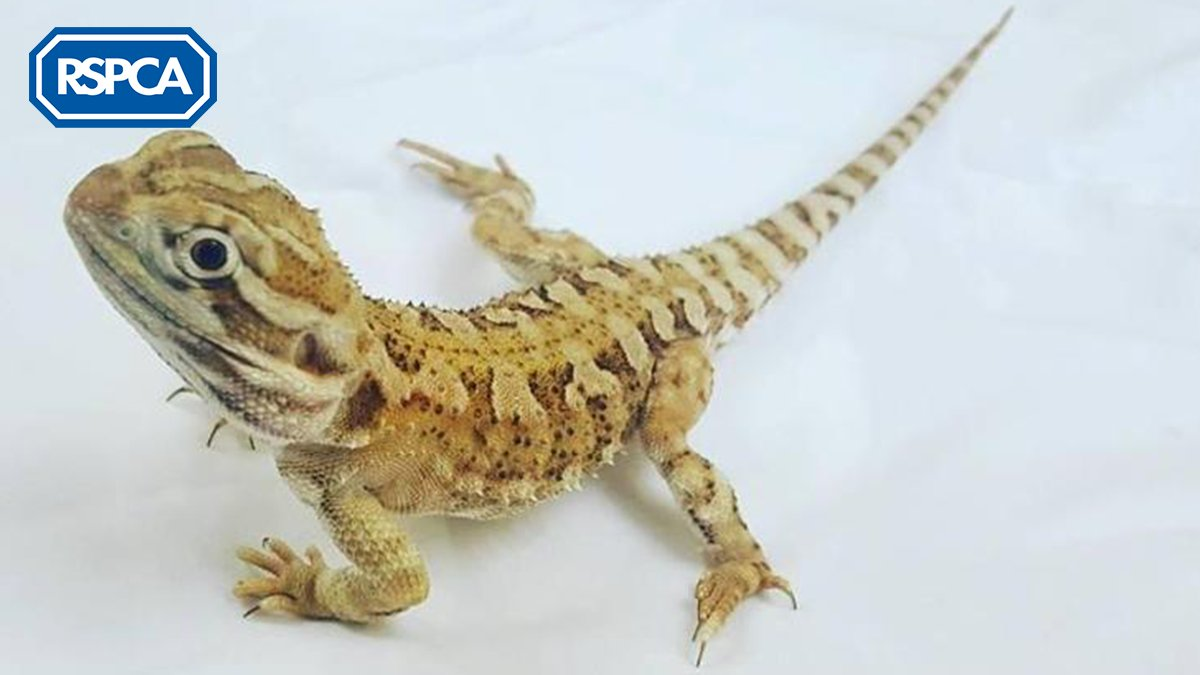 🦎 This Rankins dragon, who is actually a lizard, not a real dragon is hoping to find a home this #WorldLizardDay! Rankins dragons are similar to bearded dragons except that they are smaller and they are social with other Rankins dragons. #FindEachOther bit.ly/2Fgqaga