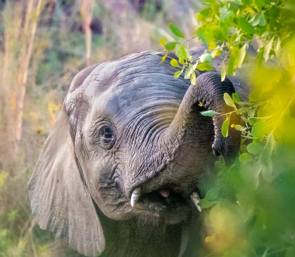 Caught this little guy down near the river reeds with his family during our game drive. If you look carefully I think you can see his pink tongue. He had a few long hard looks at us and moved on. We passed the test! 😀 . . . #elephants #southafrica #k… instagr.am/p/CD5bbRksplz/