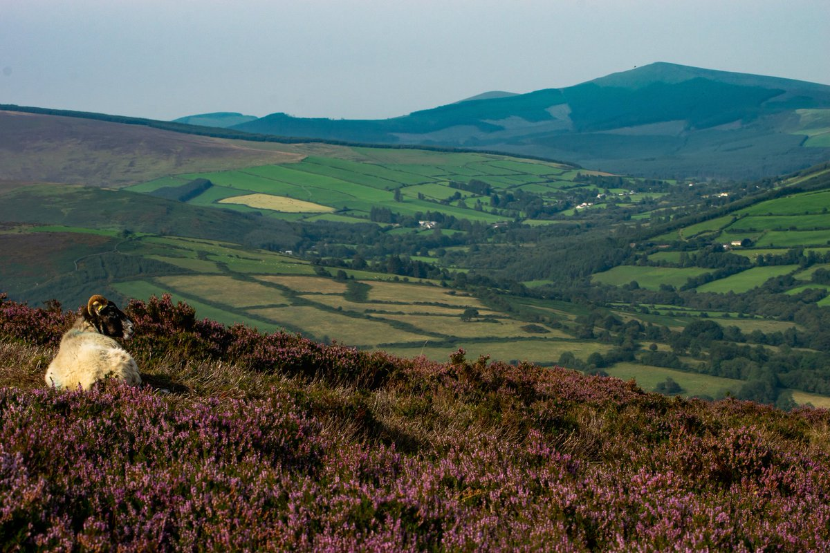 Resting on a bed of heather taking in the views of Wicklow...what a life!  #wicklow #ireland #ThePhotoHour #metalertireland #weather #staycation #wicklowmountains #travel https://t.co/e3RnDMRXj6