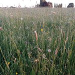 Image for the Tweet beginning: Wildflower-rich meadows were once a