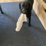 本人は親切心のつもり?!キッチンにタオルを設置する度に持ってきちゃう犬が可愛すぎる!