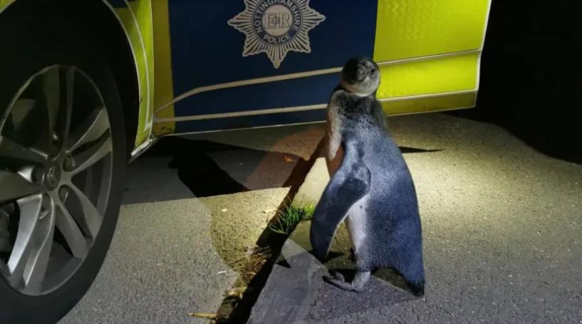 Police pick up penguin spotted 'plodding' up village street itv.com/news/2020-08-1…