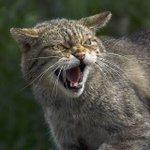 猫が威嚇の時に出す声は?実は蛇がシューシュー音を立てるのを真似しているらしい!
