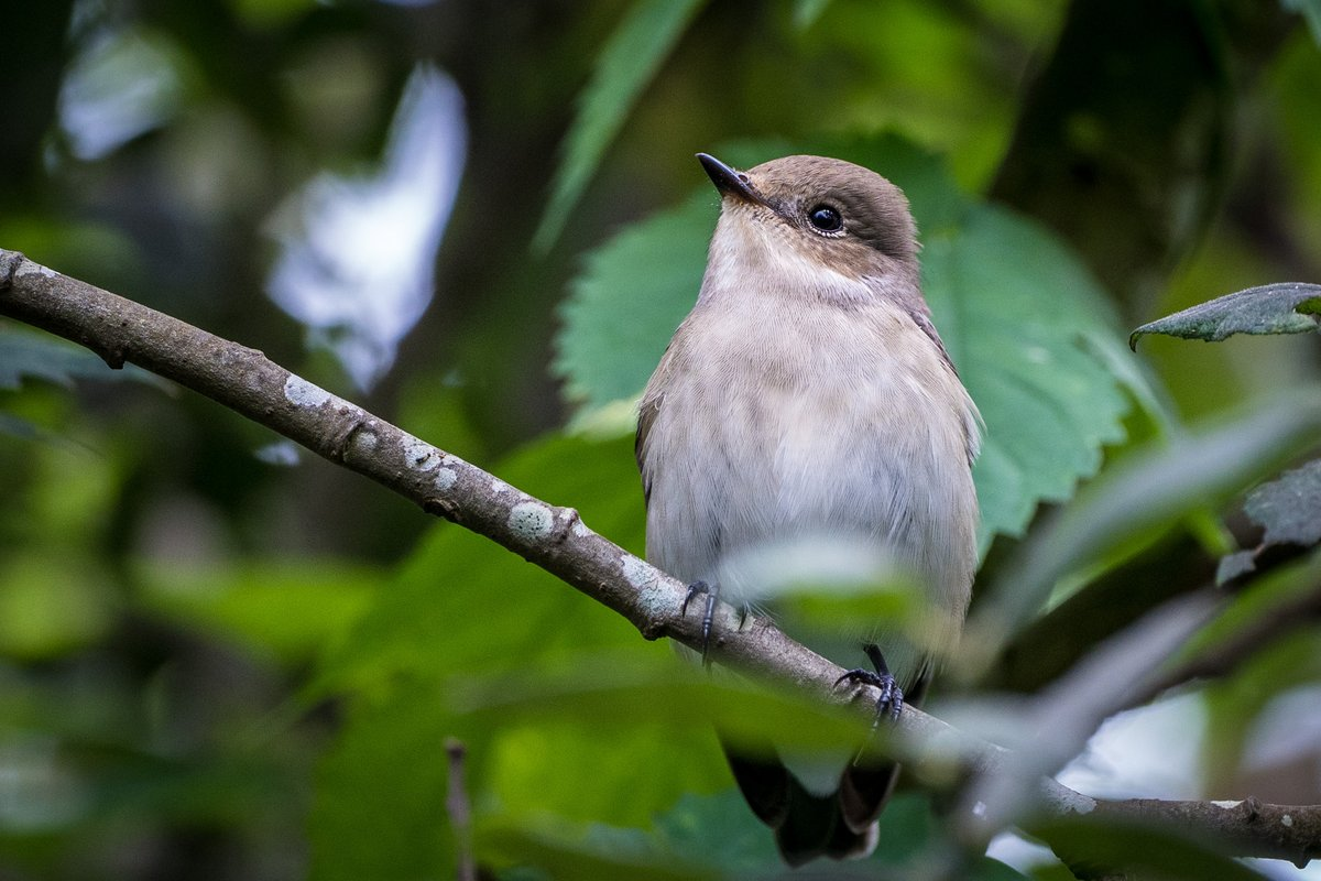 My first foray into snapping birds - I think I'm hooked 😅 (any excuse for more kit)  First visit to a @RSPBEngland site this weekend, and a very enjoyable one at @RSPBMinsmere 👌  #piedflycatcher #birdphotography #birding #birds  #birdwatching #BirdTwitter #birdlovers #wildlife https://t.co/pbdHOZIPC3