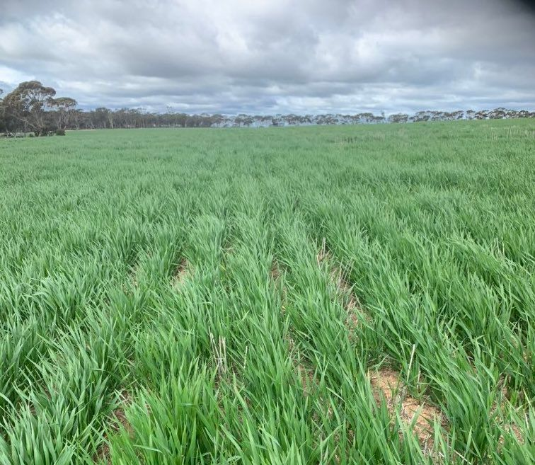 We're happy to have seen the recent #rain over in some WA regions 🌧 well needed! @tim_starcevich's crops in #SalmonGums are looking very happy after 27-34mm in 10 days 🙏📸 https://t.co/DVeRbbVsdw