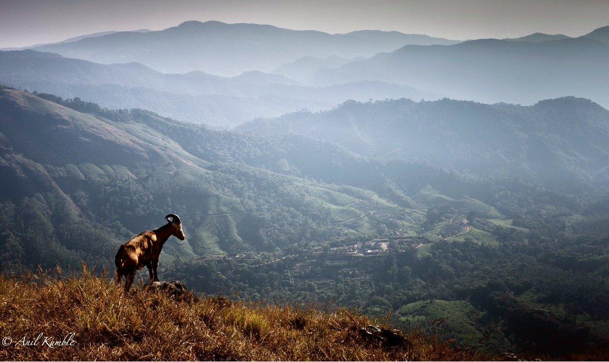Nilgiri Thar. #EravikulamNationalPark #WorldPhotographyDay #WildlifeWednesday