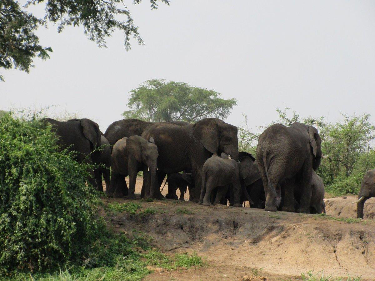 The elephants will always make you feel welcome!  #SafariUganda #elephants #VisitUganda #SunTrackAdventures #restarttourism https://t.co/x4z2mwgK9Y