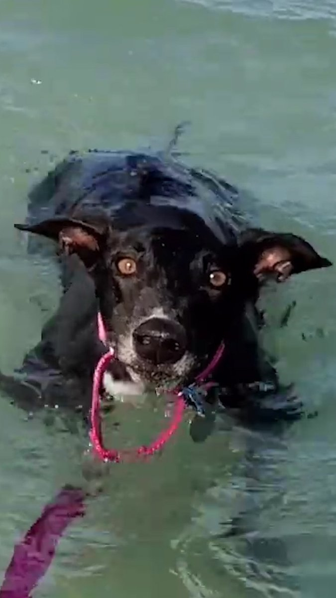 Rescue greyhound cant believe shes swimming in the ocean 💙