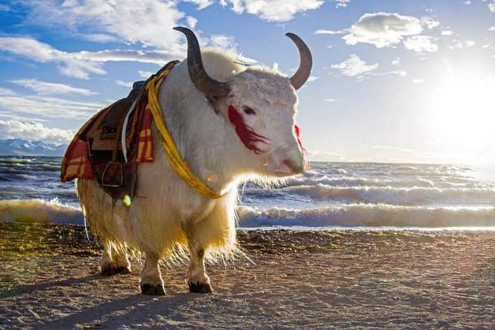 Tibetan yaks serve as an important part of Tibetan people's lives. Every inch of the yak can be used in some way. #photography #NaturePhotography #beautifulworld #naturelover #tourism #tibet https://t.co/OObIMyoP13