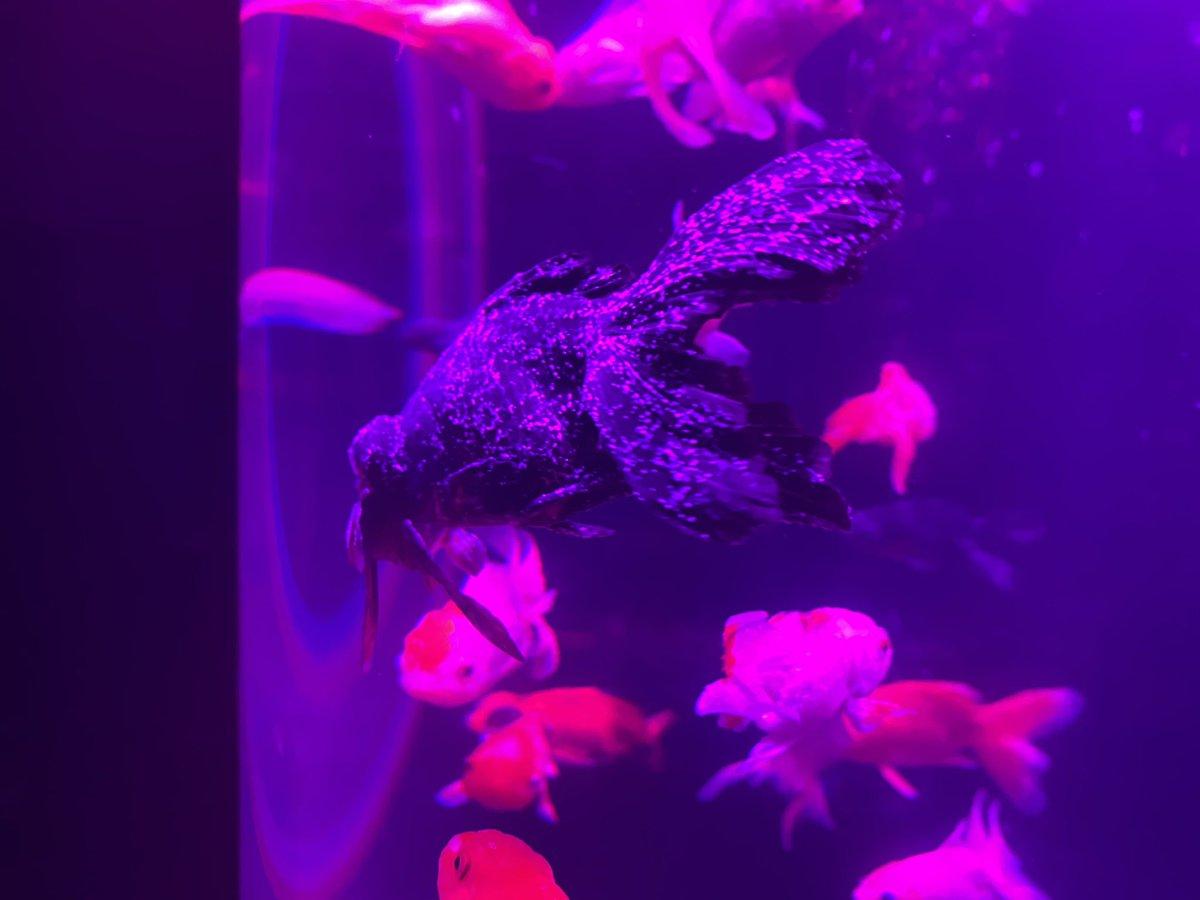 アート アクアリウム 病気 【虐待だと炎上】アートアクアリウム、病気や死んでる金魚を展示して...