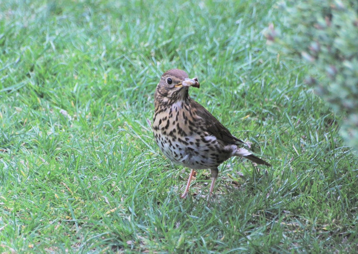 The song thrush is a familiar garden visitor that has a beautiful and loud song. The broken shells of their blue, spotty eggs can often be found under a hedge in spring. Pic by Darren Wood https://t.co/4HU4Q6brYA