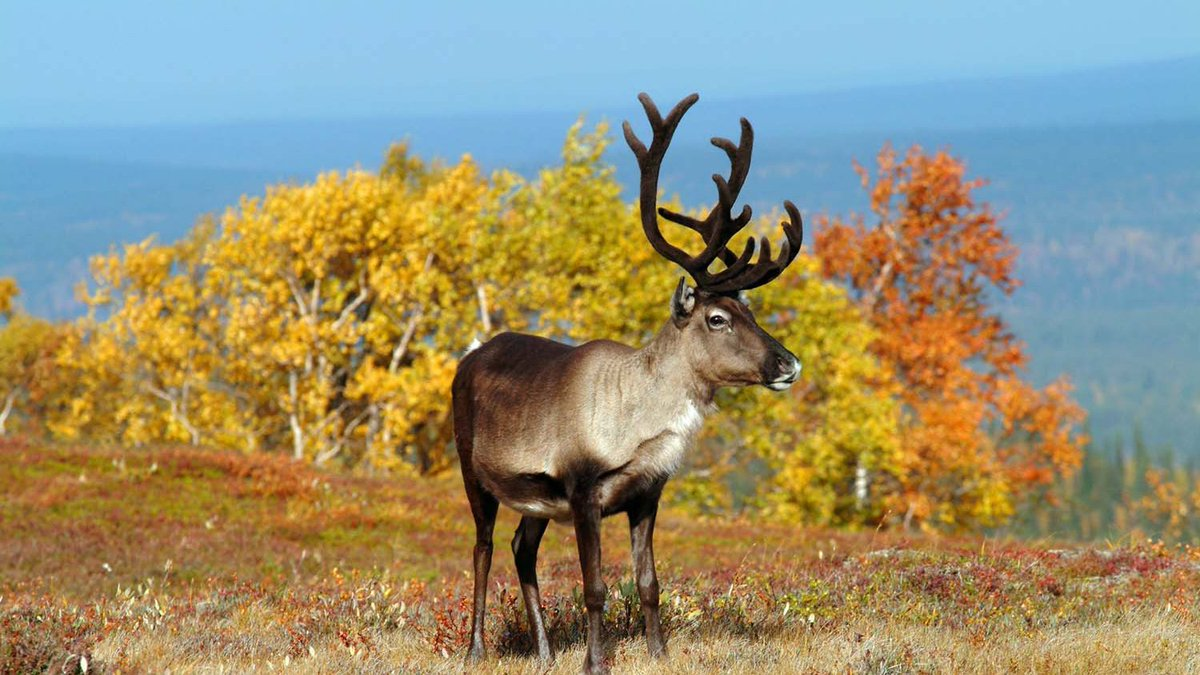 """Discovering Finland on Twitter: """"Early autumn might be the most beautiful  time of the year to visit the Levi region of Finnish Lapland, ideal for  exploring the surrounding wilderness and enjoying the"""
